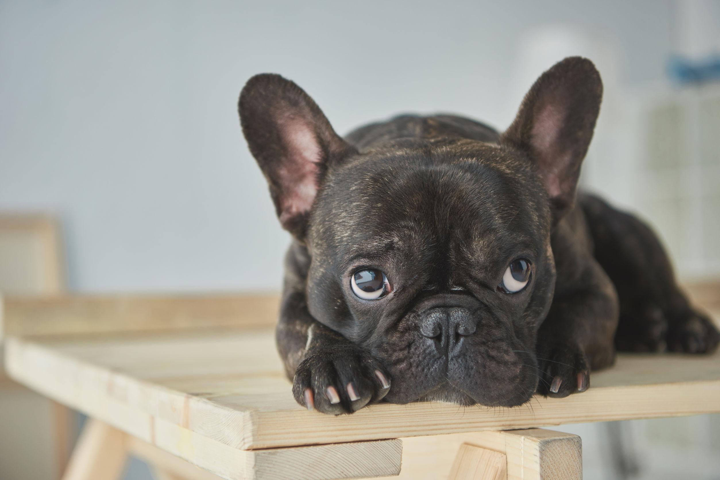 Tutto quello che c'è da sapere sul Bulldog francese